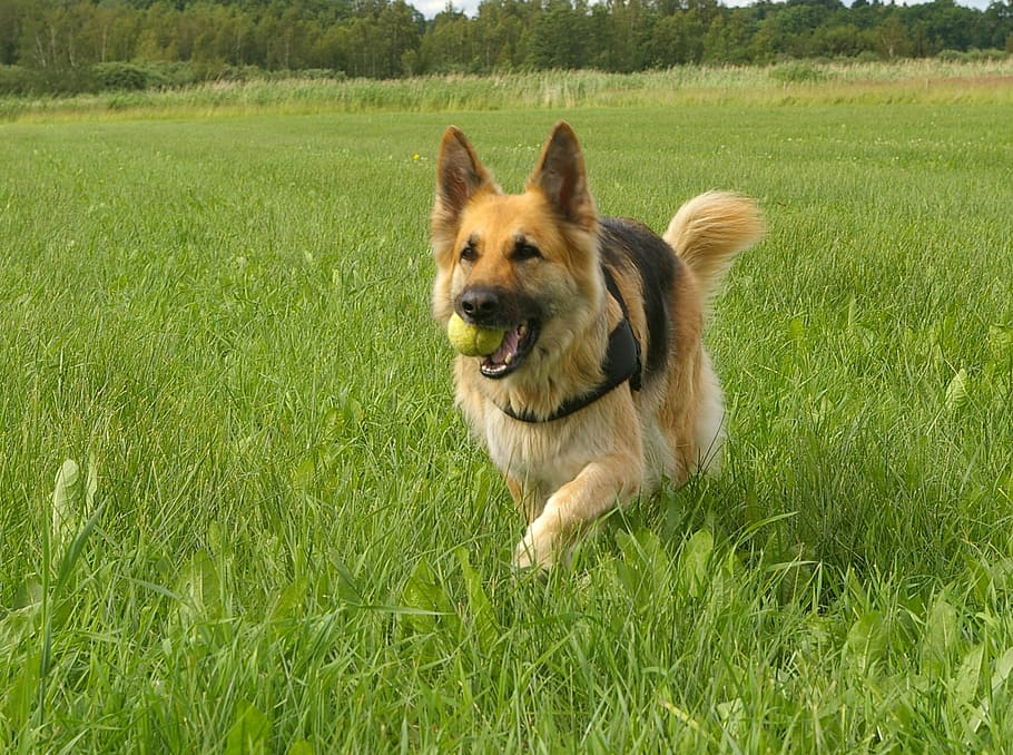dog-german-shepherd-retrieving-play
